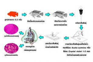 การตรวจสอบเพศปลา (Sex Identification)